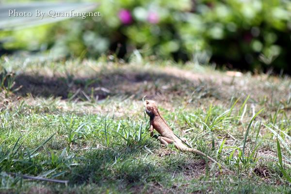 美丽の三亚-蜥蜴